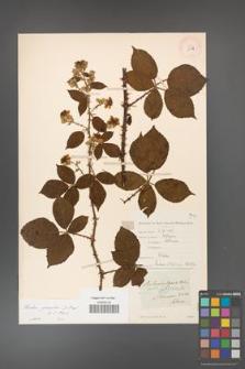 Rubus gracilis [KOR 11131]