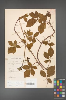 Rubus gracilis [KOR 11138]