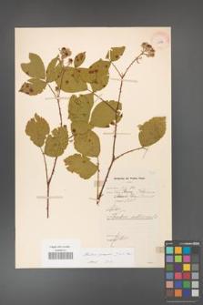 Rubus gracilis [KOR 11073]