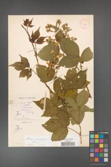 Rubus gracilis [KOR 11117]