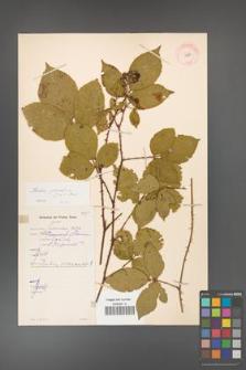 Rubus gracilis [KOR 11069]