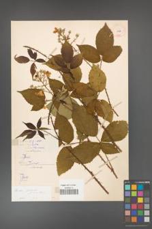 Rubus gracilis [KOR 11067]