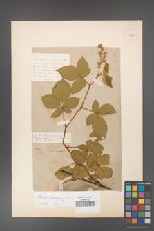 Rubus gracilis [KOR 11140]