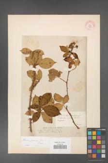 Rubus gracilis [KOR 11061]