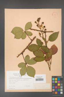 Rubus gracilis [KOR 22789]