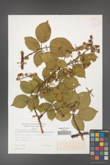 Rubus gracilis [KOR 25587]