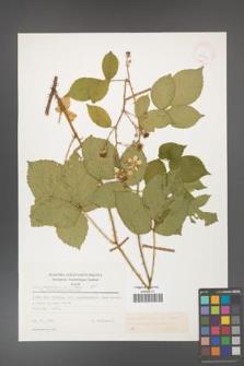 Rubus gracilis [KOR 25590]