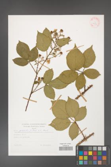 Rubus gracilis [KOR 29217]