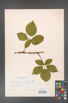 Rubus gracilis [KOR 7188]