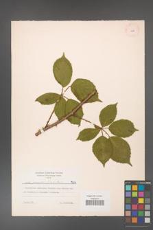 Rubus gracilis [KOR 7212]
