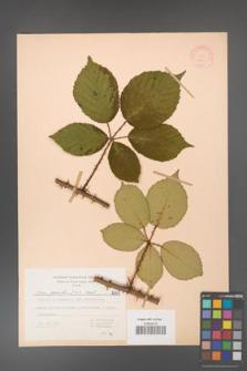 Rubus gracilis [KOR 6841]