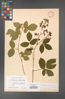 Rubus gracilis [KOR 11136]