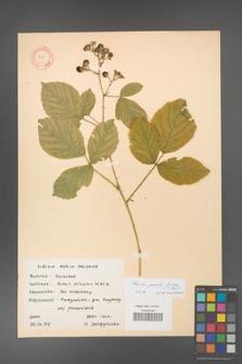 Rubus gracilis [KOR 11115]