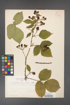 Rubus gracilis [KOR 7690]