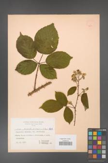Rubus gracilis [KOR 52604]