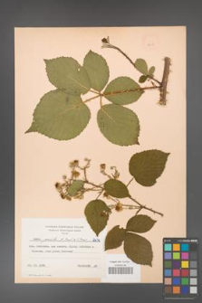 Rubus gracilis [KOR 52605]