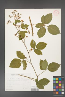 Rubus gracilis [KOR 30919]
