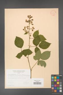 Rubus gracilis [KOR 30921]