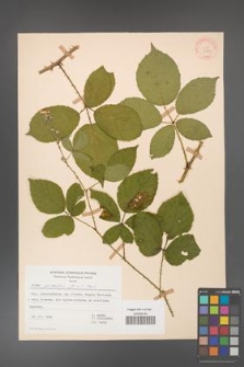 Rubus gracilis [KOR 30869]