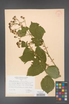 Rubus gracilis [KOR 30863]