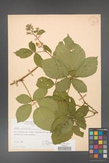Rubus gracilis [KOR 30870]