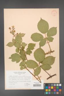 Rubus gracilis [KOR 30866]