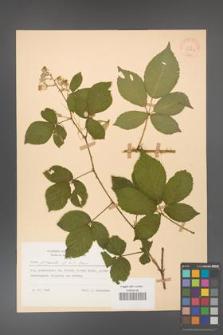 Rubus gracilis [KOR 30862]