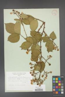 Rubus gracilis [KOR 30878]