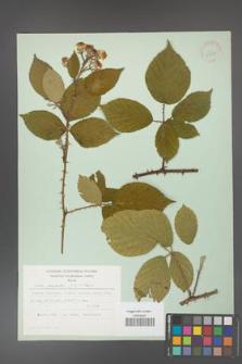 Rubus gracilis [KOR 30885]