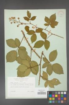 Rubus gracilis [KOR 30882]