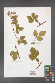 Rubus gracilis [KOR 30474]
