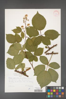 Rubus gracilis [KOR 30491]
