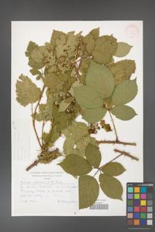 Rubus gracilis [KOR 30476]