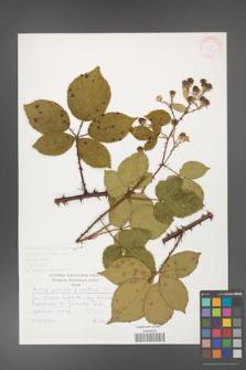 Rubus gracilis [KOR 30490]