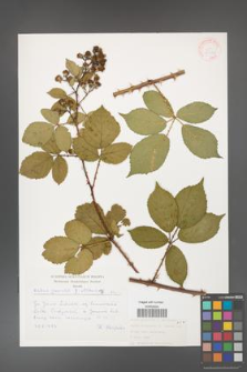 Rubus gracilis [KOR 30493]