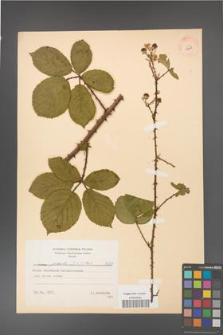 Rubus gracilis [KOR 8629]