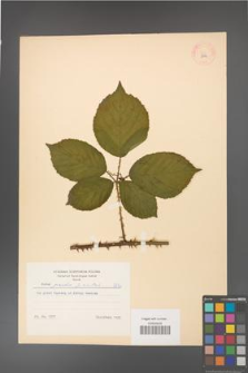 Rubus gracilis [KOR 8752]