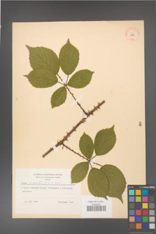 Rubus gracilis [KOR 8687]