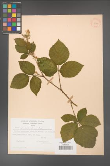 Rubus gracilis [KOR 30883]