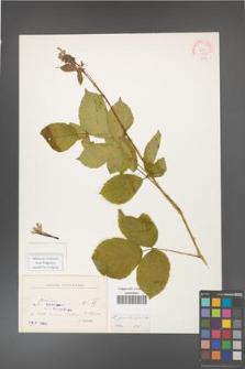 Rubus gracilis [KOR 10592]