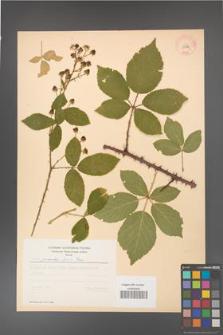 Rubus gracilis [KOR 11076]