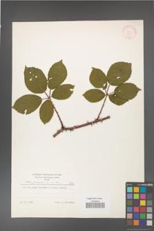 Rubus gracilis [KOR 8953]
