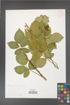 Rubus gracilis [KOR 29919]