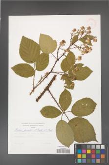 Rubus gracilis [KOR 30508]