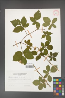 Rubus gracilis [KOR 29959]