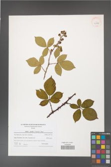 Rubus gracilis [KOR 40778]