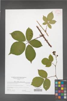 Rubus gracilis [KOR 43976]