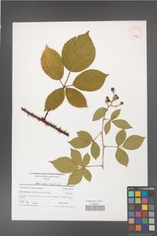 Rubus gracilis [KOR 40747]