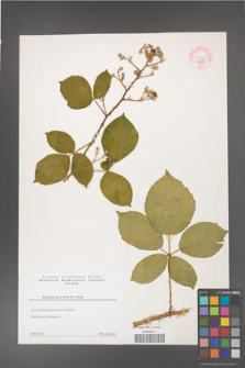 Rubus gracilis [KOR 44308]