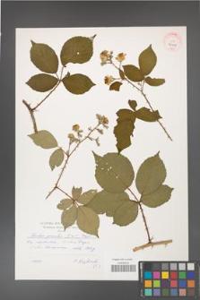 Rubus gracilis [KOR 41009]